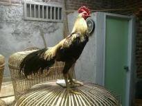 ayam birma