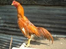 ayam shamo brazill